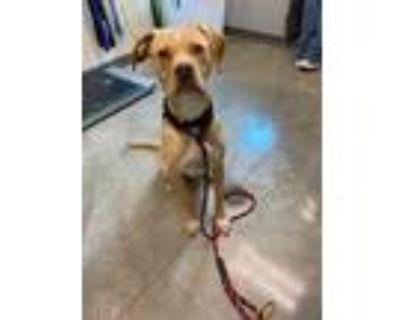 Adopt PATIENCE a Tan/Yellow/Fawn Boxer / Labrador Retriever / Mixed dog in