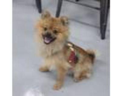 Adopt Samuel a Pomeranian