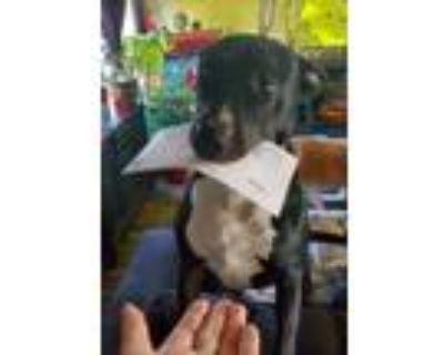 Adopt Julius a Labrador Retriever