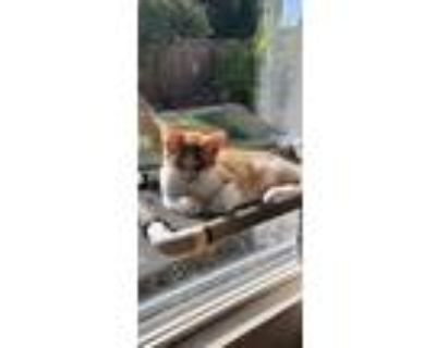 Adopt Pepper a Orange or Red Tabby Domestic Shorthair / Mixed (short coat) cat