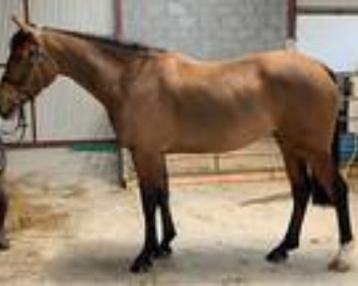 Talented Irish Sport Horse Mare