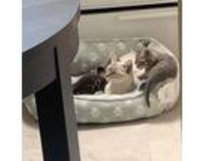 Adopt 3 Kittens Found a Gray or Blue Domestic Shorthair / Mixed (short coat) cat