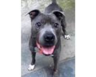 Adopt Bako a Gray/Silver/Salt & Pepper - with White American Staffordshire