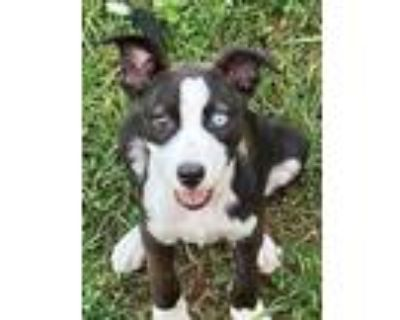 Adopt Joules a Black - with White Pit Bull Terrier dog in Washington