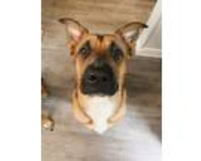 Adopt Bruce a Tan/Yellow/Fawn - with Black Black Mouth Cur / Mixed dog in