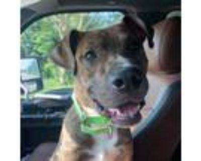 Adopt Don a Pit Bull Terrier