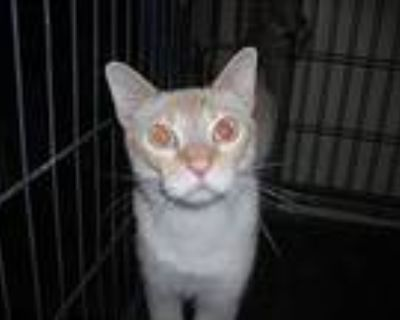 Freckles, Siamese For Adoption In Tracy, California