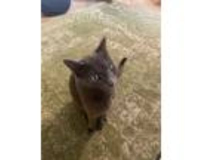 Adopt Cleo a Gray or Blue Russian Blue / Mixed (short coat) cat in Tempe