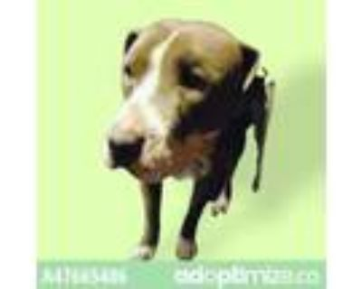 Adopt 47665406 a Pit Bull Terrier, Mixed Breed