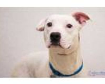 Adopt Little Foot a White American Pit Bull Terrier / Mixed dog in Hamilton