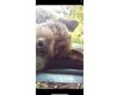 Adopt Loki a Red/Golden/Orange/Chestnut Irish Terrier / Wirehaired Pointing