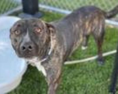 Adopt XOLO a Brindle - with White Dutch Shepherd / American Pit Bull Terrier /