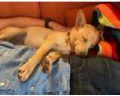 Adopt Frida a Labrador Retriever, Cattle Dog