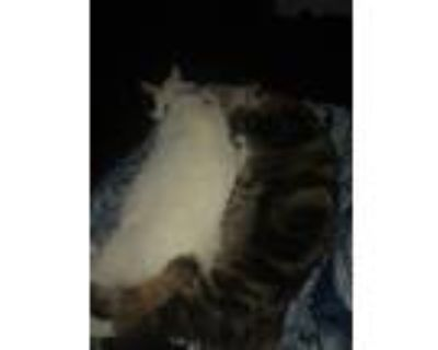 Adopt Toby a Gray or Blue (Mostly) American Shorthair / Mixed cat in