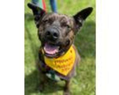 Adopt Bella a Brindle Dutch Shepherd / Mixed dog in Northville, MI (31148918)
