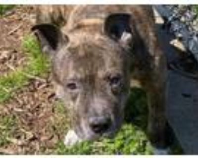 Adopt JAZZ a Pit Bull Terrier