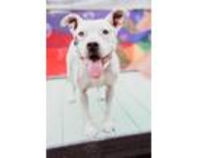 Adopt Laila-Spunky Senior a American Staffordshire Terrier, Pit Bull Terrier