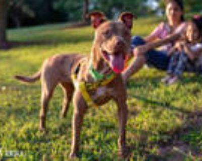 Adopt CHEWY a Brown/Chocolate Labrador Retriever / Mixed dog in Atlanta
