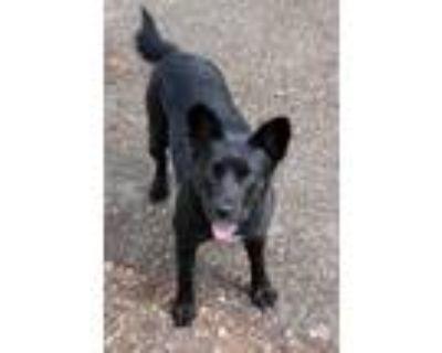 Adopt Molly Mae a Australian Cattle Dog / Blue Heeler
