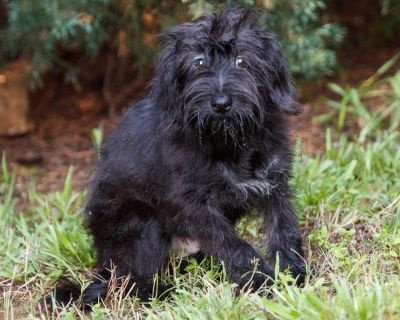 Callahan 11322 - Terrier/Mixed Breed (Small) - Puppy Male