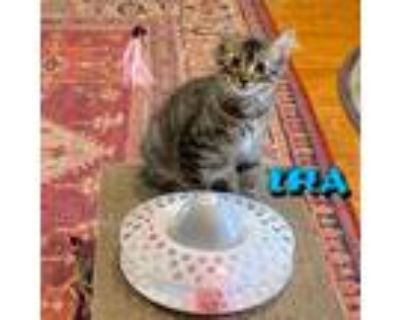 Adopt Ira of NPR Kittens a Domestic Long Hair, Maine Coon