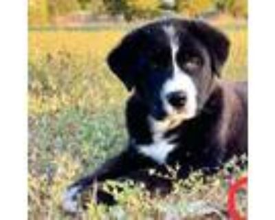 Adopt HANS SOLO a Border Collie, Great Pyrenees