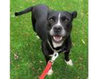 Adopt Daisy a American Pit Bull Terrier / Labrador Retriever / Mixed dog in San
