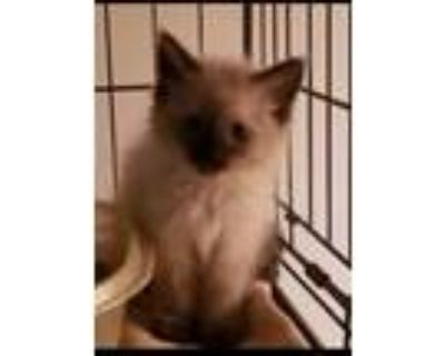 Adopt Christina a Spotted Tabby/Leopard Spotted Balinese cat in Calimesa