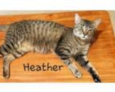 Adopt Heather a Brown Tabby Domestic Shorthair / Mixed (short coat) cat in