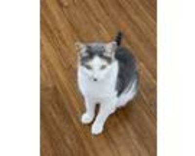 Adopt Cleo a White (Mostly) Domestic Shorthair / Mixed cat in Woodbury