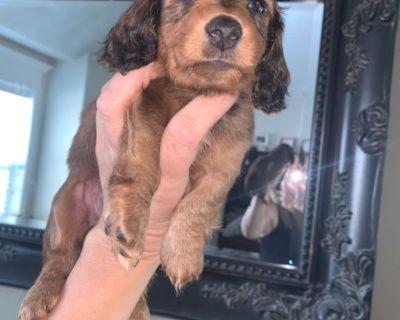 Miniature AKC Long Haired Dachshund Pups