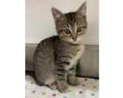Adopt 655003 a Tan or Fawn Domestic Shorthair / Domestic Shorthair / Mixed cat