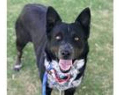 Adopt MINNIE a Border Collie, Australian Cattle Dog / Blue Heeler