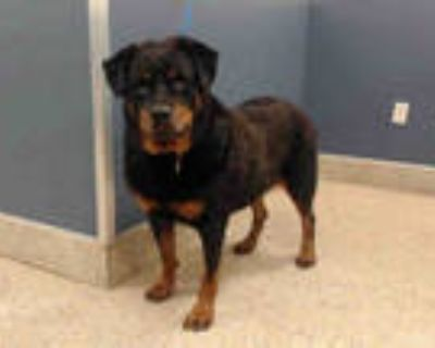 Adopt ROCCO a Black - with Tan, Yellow or Fawn Rottweiler / Mixed dog in Doral