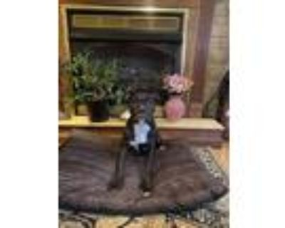 Adopt Astra a Black - with White Boxer / Boxer / Mixed dog in Cranford