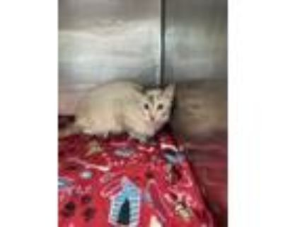 Adopt MOTHER a White Siamese / Mixed cat in El Paso, TX (32017904)