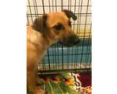 Adopt STARMIE a Tan/Yellow/Fawn Shepherd (Unknown Type) / Mixed dog in Chico