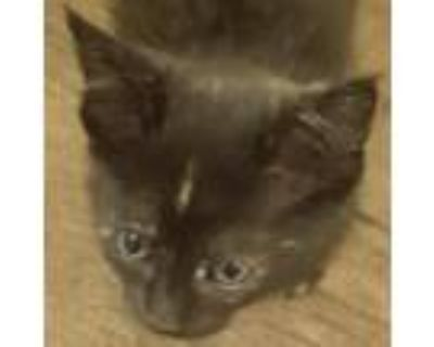 Mint, Domestic Shorthair For Adoption In Pleasanton, California