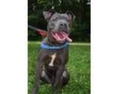 Adopt Santos a Pit Bull Terrier, Mixed Breed