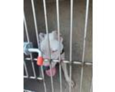 Adopt Lacy a Pit Bull Terrier / Mixed dog in LAFAYETTE, LA (32065835)