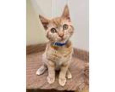 Adopt MG Sosuke (So-Skay) a Domestic Mediumhair / Mixed (medium coat) cat in