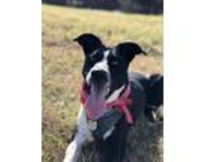 Adopt Luna a Black - with White Bearded Collie / Labrador Retriever / Mixed dog