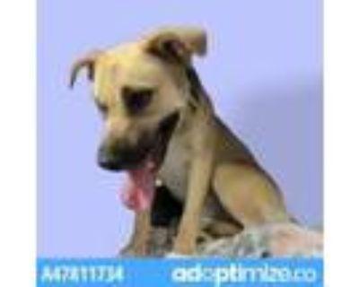 Adopt 47811734 a Tan/Yellow/Fawn Labrador Retriever / Mixed dog in El Paso