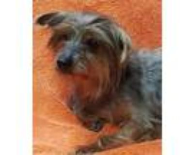 Adopt MILDRED a Yorkshire Terrier, Mixed Breed
