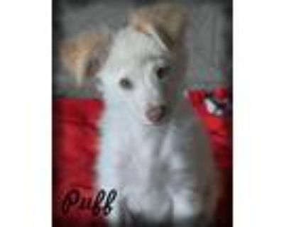 Adopt Puff a White - with Tan, Yellow or Fawn Pomeranian / Dachshund / Mixed dog