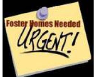 Adopt Foster Homes Needed a Saint Bernard