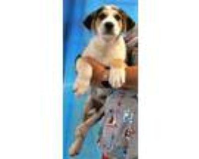 Adopt 159659 a Black Labrador Retriever / Border Collie / Mixed dog in
