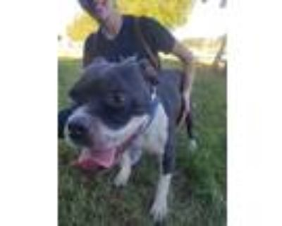 Adopt Chief a Boxer, Pit Bull Terrier