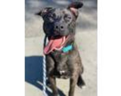 Adopt Cooper a Brindle American Pit Bull Terrier / Mixed dog in Chico