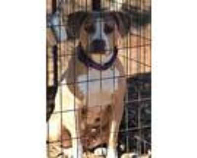 Bambi, American Pit Bull Terrier For Adoption In Hudson, New Hampshire